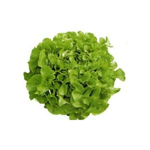 Salade - Feuille de chêne verte - La pièce